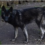 perro lobo ártico