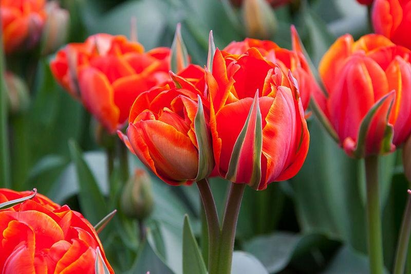 Dubbele tulp, rood met oranje
