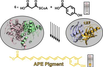 Assembly of bacterial arylpolyene pigments.