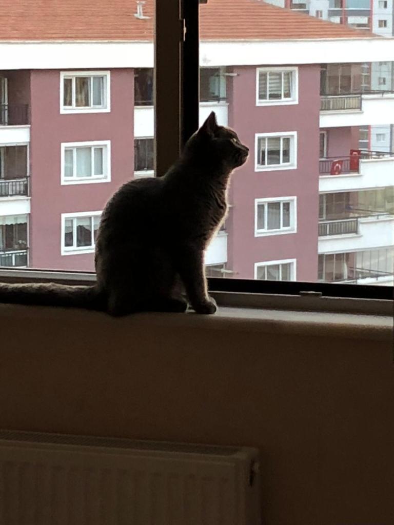 Ankara Kedi Sinekliği