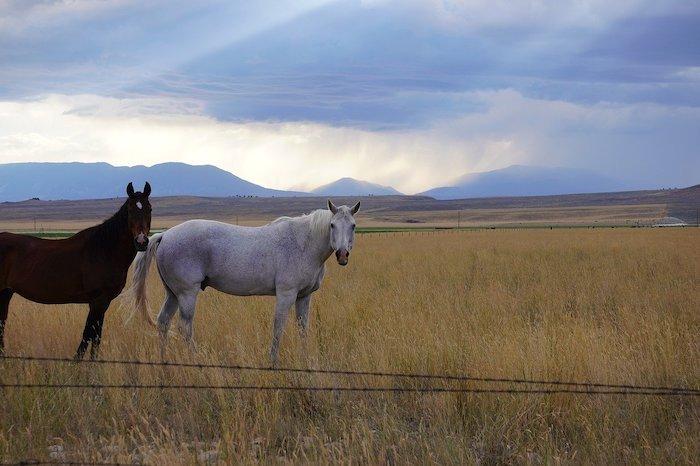 Wild Mustangs at Pryor Mountains