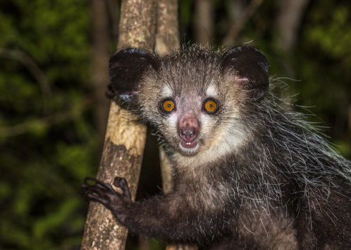Research: Gimme six! Researchers discover aye-aye