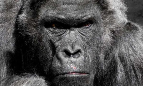 Study: Gene reveals how malaria jumped from gorillas to humans