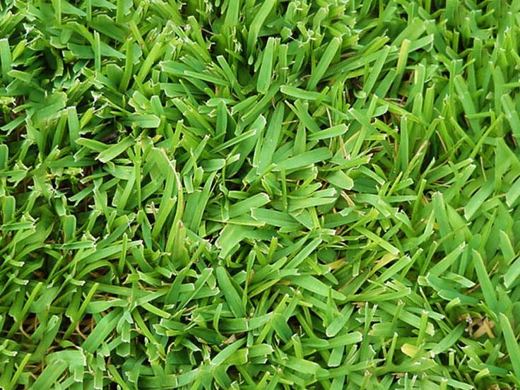 Festuca-arundinacea