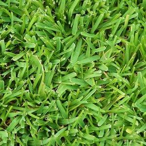 Festuca Arundinacea