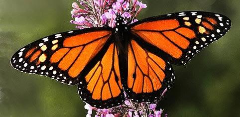 Mariposa Monarca (Michoacán y Estado de México)