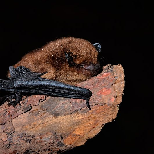 murcielago herradura animales peligro extincion extremadura