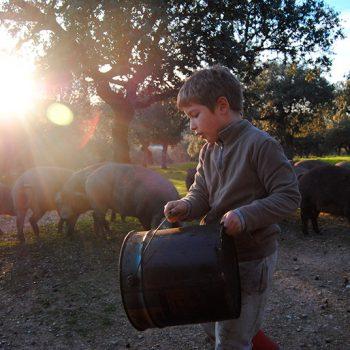 agroturismo en Extremadura echar bellotas a los cerdos