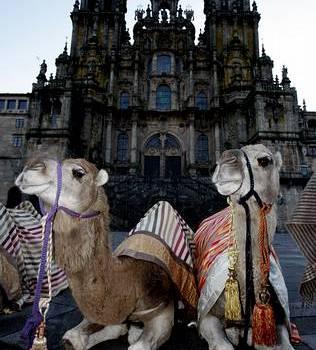 los camellos peregrinos