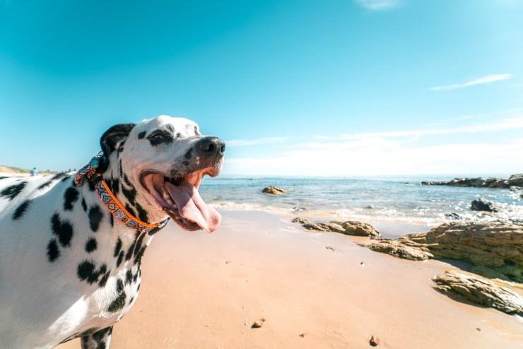 playas para perros, perro en una playa