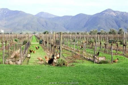 Vinicola Organica Emiliana Casablanca Chile 022 350x233 Vinícolas no Chile: Tour degustação na Emiliana