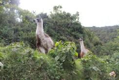 lhamas na trilha inca