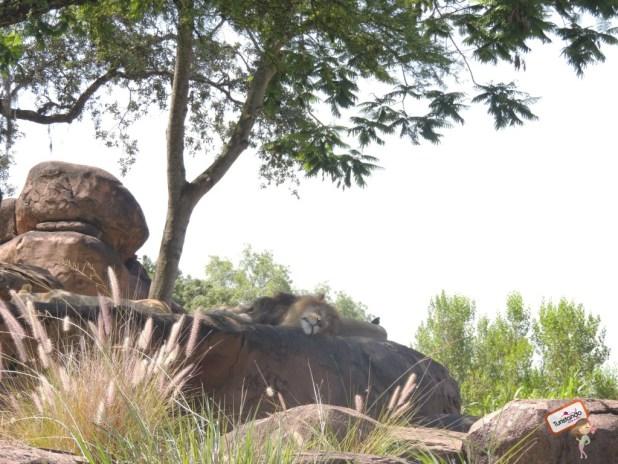 O leão estava tirando uma soneca neste dia
