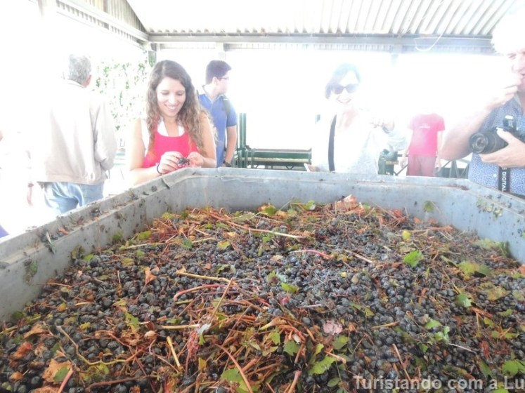 uvas frescas na vinícola ervideira