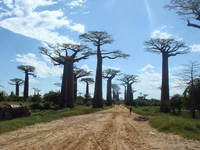 avenida-de-los-baobabs