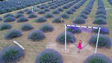 Photo of حقول اللافندر في تركيا.. عالم أرجواني ينتظر زواره