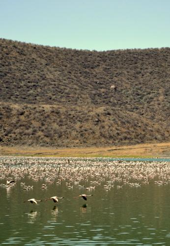 Flamingoes in flight across the lake.
