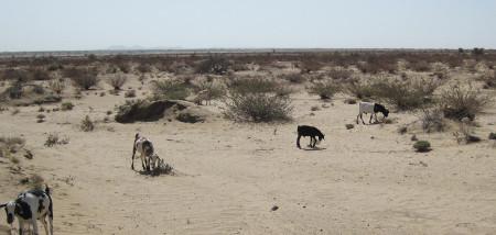 These goats seem to prefer the Indigofera plant.