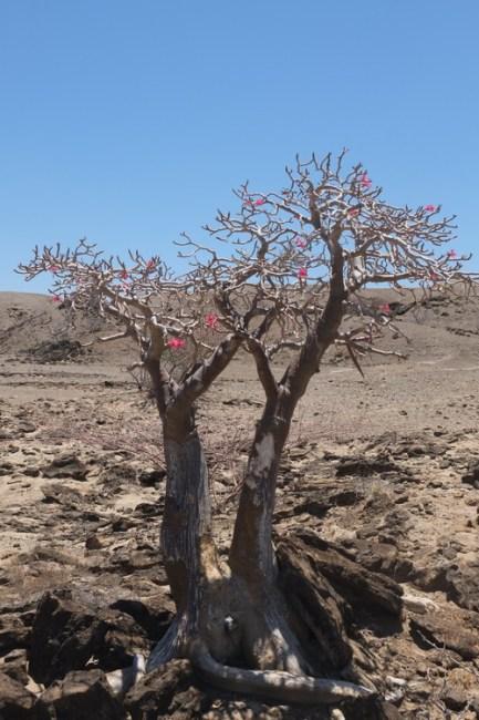 Desert rose blooming