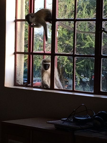 Vervet monkey wanting to come into the library.