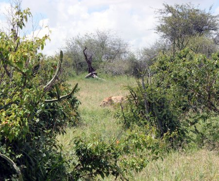 A 2.5-year-old male sneaks from bush to bush, hiding from us as we followed him inside the vehicle. It's great to know there is a relatively new juvenile lion at Mpala.