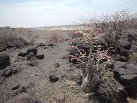 Even a smaller desert rose such as this is probably several hundred years old.