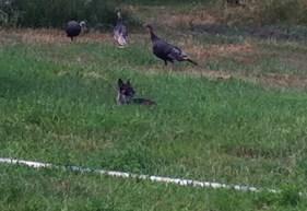 Daisy with the turkeys.