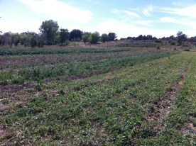 the area was all previously planted - beets, carrots, lettuce, peas, kohlrabi, and more, all long gone!