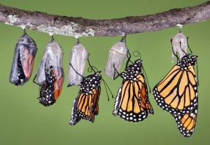 Emerging monarch