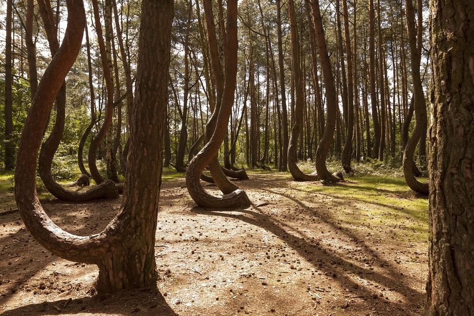 Crooked Forest in Nowe Czaernowo , Poland