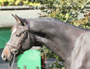 Scirocco 2011 gelding by Sir Caprimond X Pocahontas