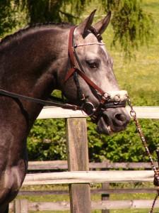 Zibral - Lusitano Stallion