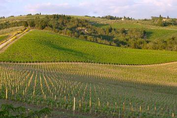 """Il sangiovese, il vitigno principe toscano, è relativamente giovane, mentre ci sono tracce storiche di uve cabernet sauvignon, merlot, alicante, portate dai Medici più o meno nel XVI secolo"""". E allora? """"E allora tutto questo dimostra la necessità di uscire dall'idea preconcetta che un vitigno sia l'unica espressione d'una territorialità, quando in verità un vitigno è solo uno dei mezzi d'espressione d'un territorio."""