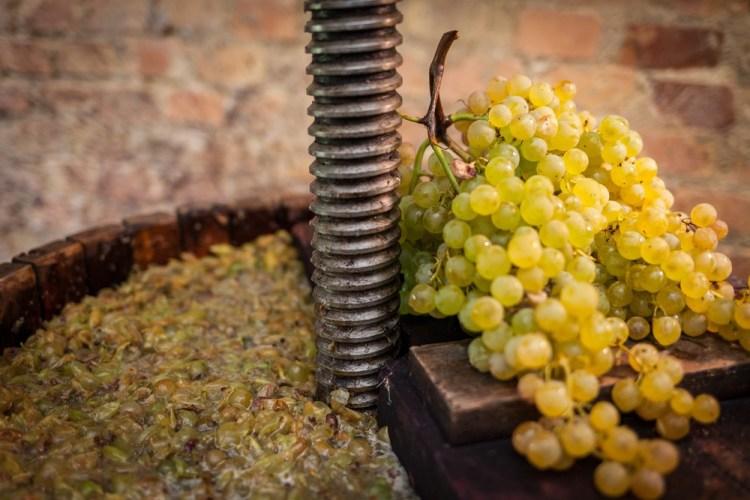 Mosto di uve bianche nel torchio