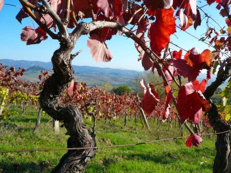 Vigne a Montescudaio in Toscana