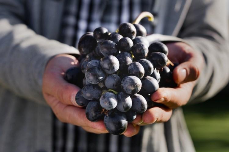Il Pinot Nero è uno dei migliori vini toscani da abbinare a piatti di carne