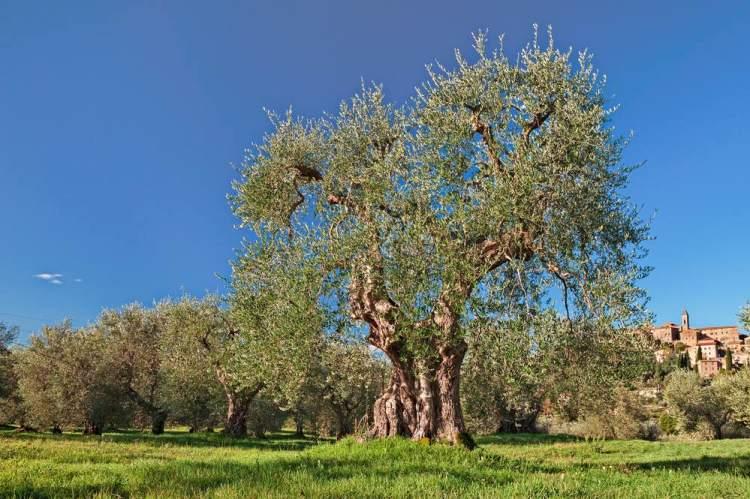 Ulivo che produce Olivastra Saggianese con dietro il borgo di Seggiano
