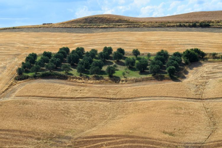 Piantagione di ulivi nelle Crete senesi