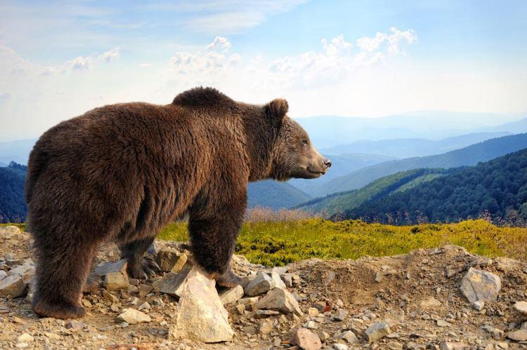 Orso bruno in alta montagna