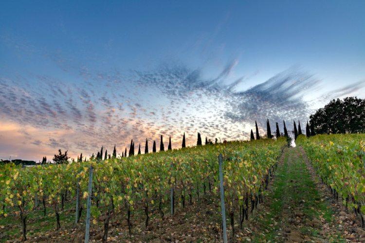 Vigne per la produzione del vino Carmignano DOCG
