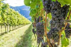 Vigne con grappoli di pinot nero in montagna