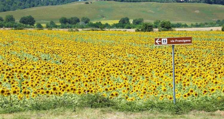 Cartello della Via Francigena in Toscana davanti a un campo di girasoli