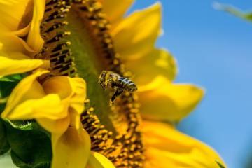 bee-sunflower-tuscany-italy