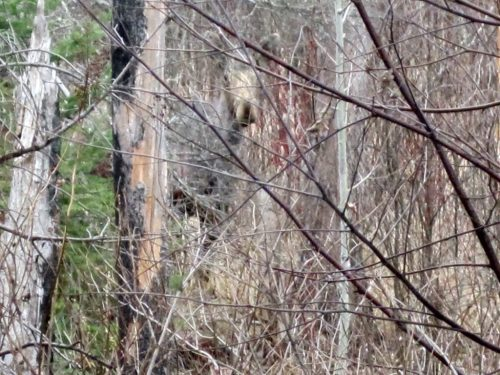 Peekaboo Moose in the Superior National Forest