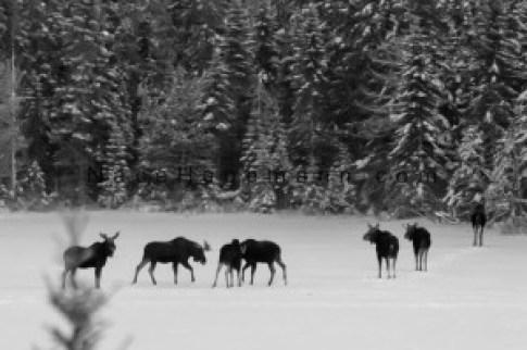 Nace Hagemann moose