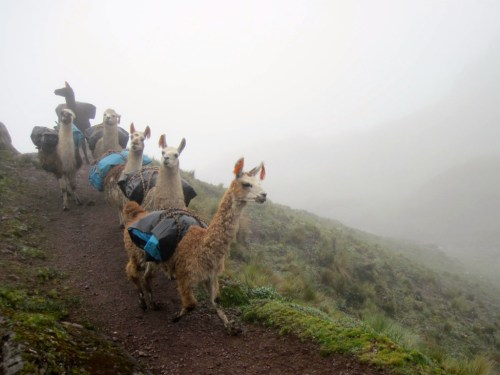 Llamas carrying backpacking gear on the Lares Trek in the Peruvian Andes