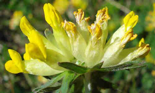 fotos de la planta vulneraria