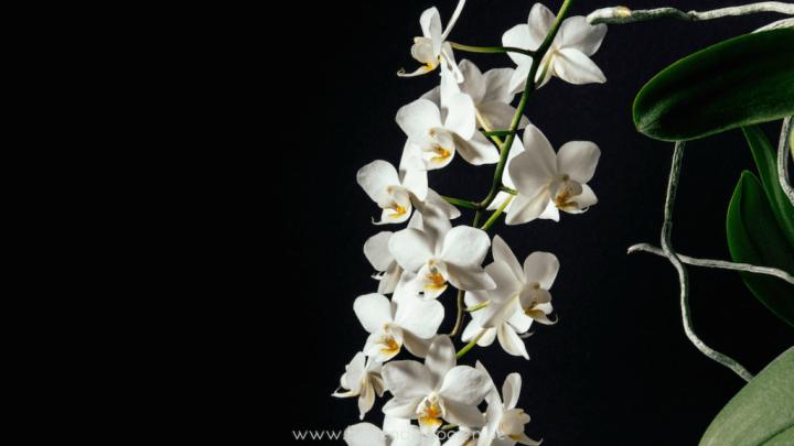 Nieuw leven in de lente - Orchidee