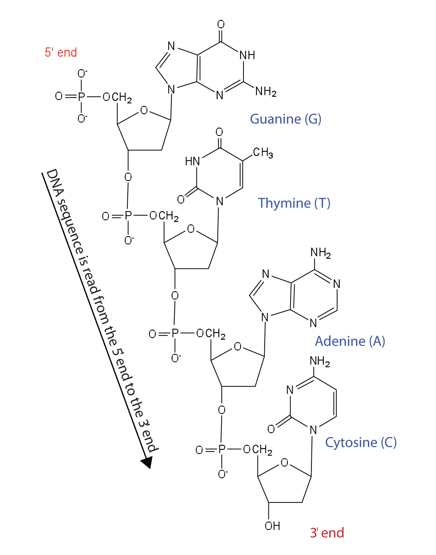 Structure Of Dna Assignment Help Homework Help Online Biology Tutoring Help