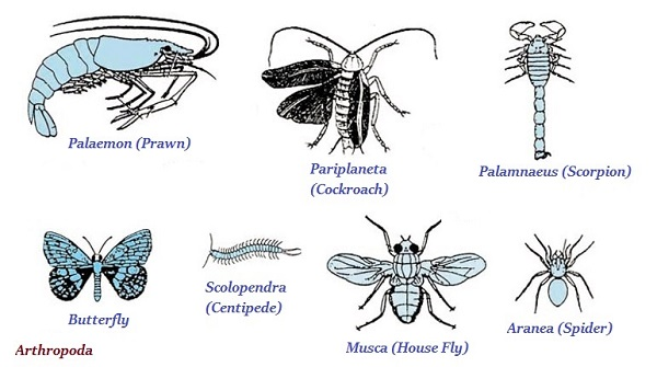 Image of: Consists Toppr Organisms Animalia Kingdom Examples